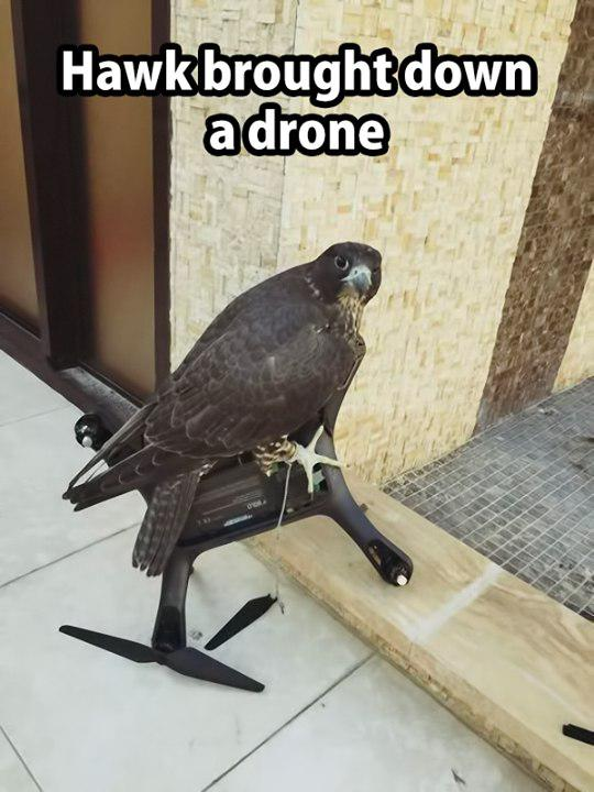 Hawk brought down a drone