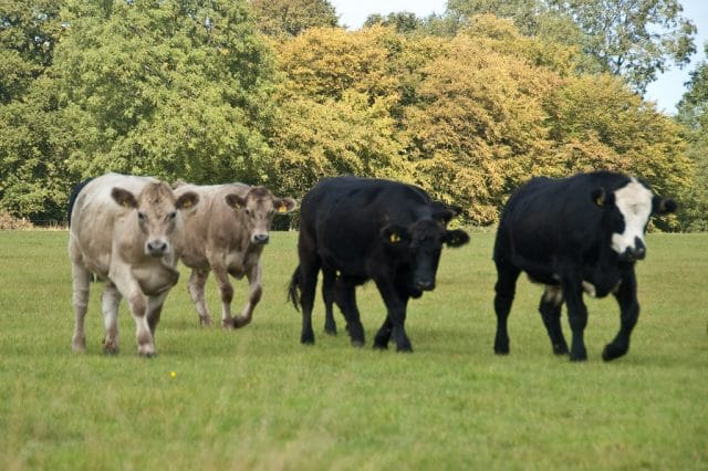 Killer Fast Running Attack Cattle