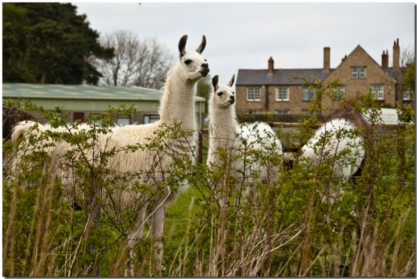 Northumberland Llamas